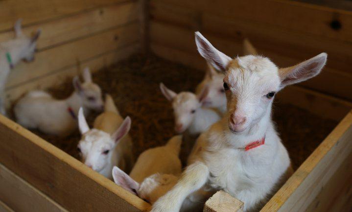 Biologische geiten grootste groeiers Nederlandse biolandbouw