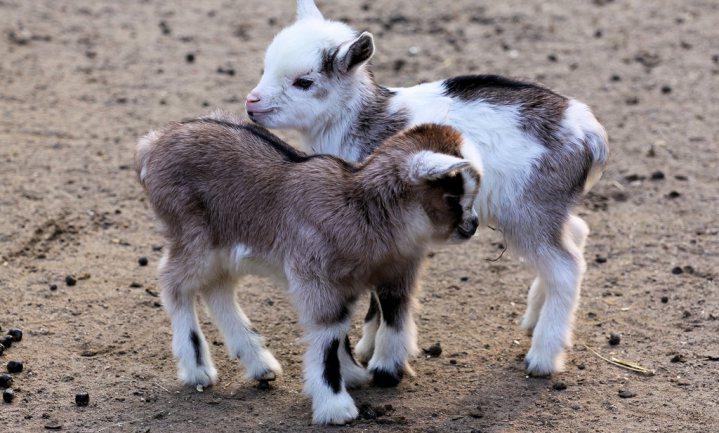 Jaarlijks verdwijnen 17.000 geitenbokken spookachtig spoorloos