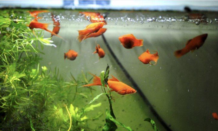 Ontsmette handen dodelijk voor goudvissen