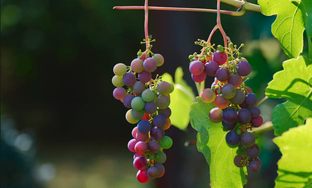 Italiaanse en Franse wijnboeren gooien voor een vermogen aan druiven weg