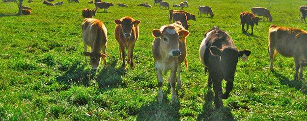 Grassfed koeien in de VS - gaat dat lukken?