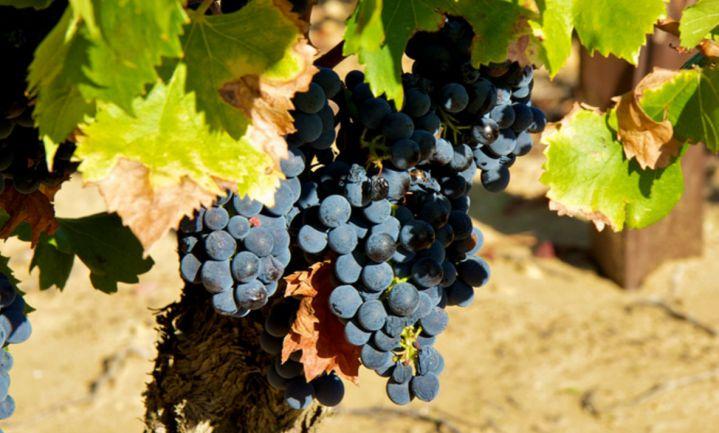 Franse wijnoogst 2016: van 'exceptioneel' tot 'dramatisch'