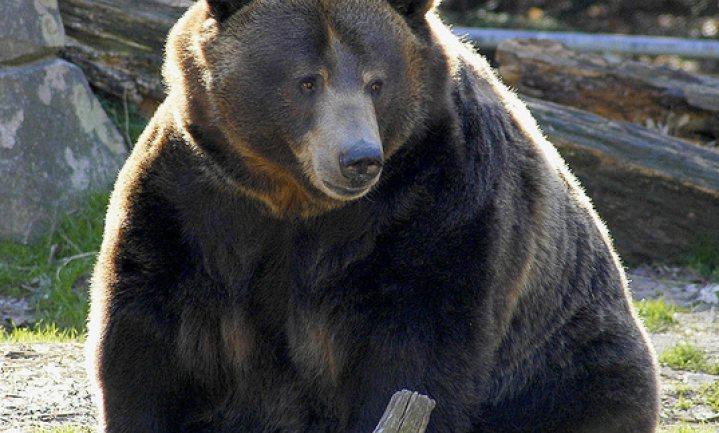 Beren worden diabeet tijdens hun winterslaap