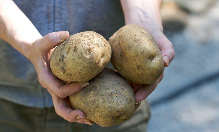 Plofgewassen binnen bereik door transgenese met dierlijk obesitasgen