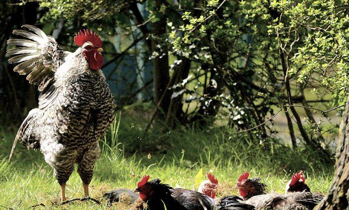 Vogelgriepvirus H5N6 aangetroffen bij hobbyhouder
