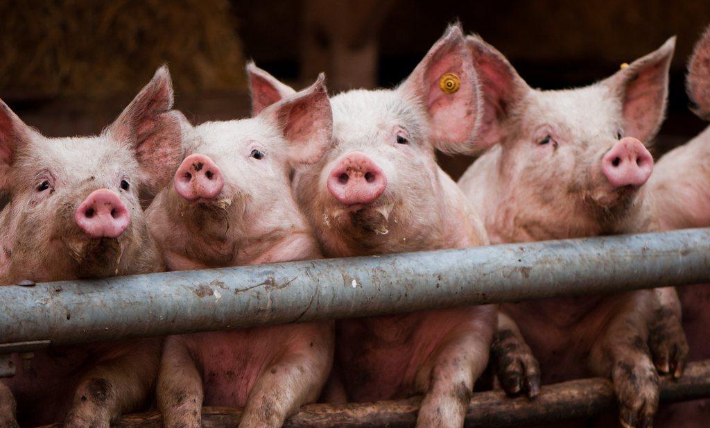 Rosenthal: varkenshouderij moet af van focus op Noord-West Europa