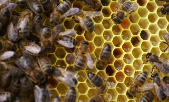 Nederlandse bijensterfte viel deze winter hoger uit dan in voorgaande jaren