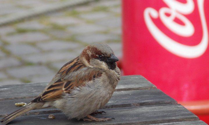 Populaties stadsvogels met meer dan de helft gedaald sinds 1990
