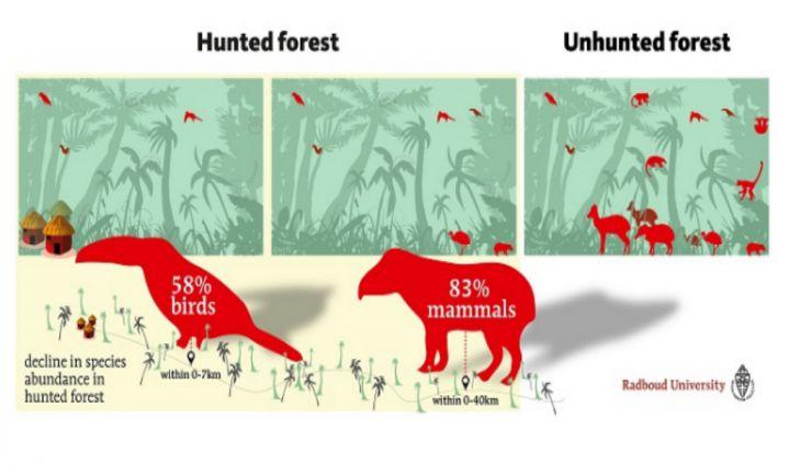 'In bejaagde gebieden blijft maar 17% zoogdieren en 42% vogels over'