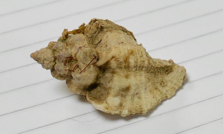 Onderzoek naar Japanse oesterboorder die Zeeland onderwater leeg eet