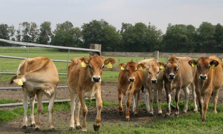 Jerseyvlees-boeren zoeken eigen boerderij door 'FarmFunding'