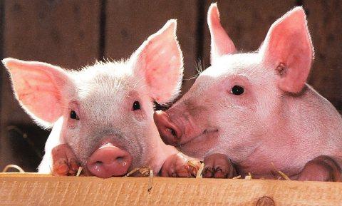 Klimaattechnisch rammelend varkensvoorstel Urgenda biedt boeiend perspectief voor Nederlandse boer