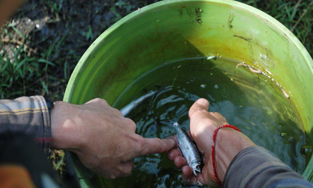 Te weinig en te warm water funest voor Chinook zalm-trek