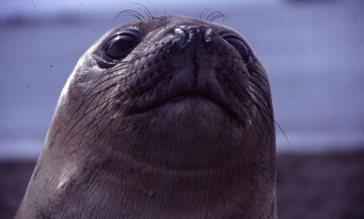 Zeeolifant meet temperaturen voor NASA
