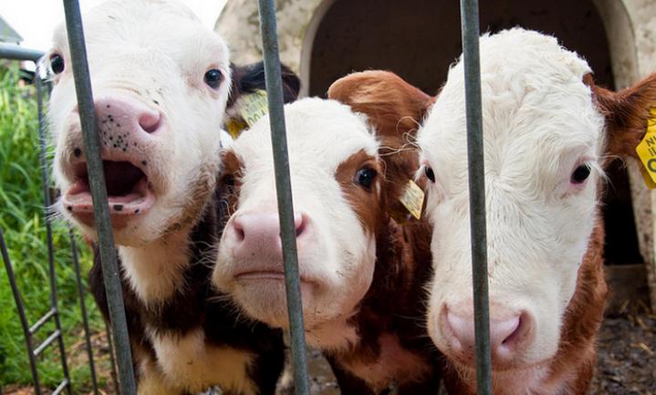 Nederlands kalfsvlees mag na 2 decennia China weer in