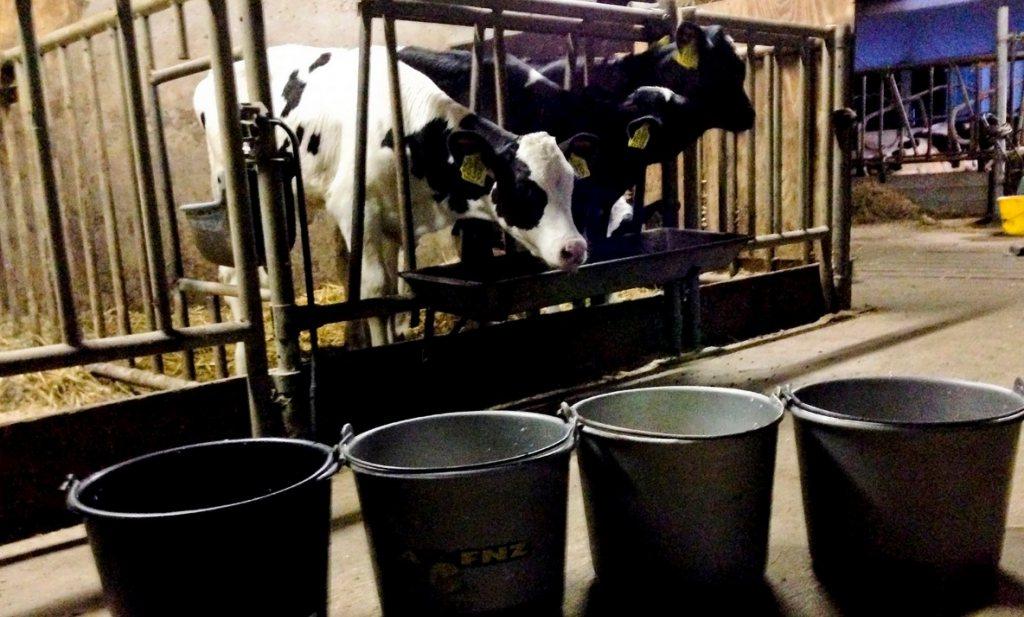 Groene stroom van kalfjes resultaat wanbeleid melkveehouderij
