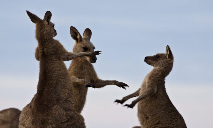 Delhaize stopt met verkoop kangoeroevlees