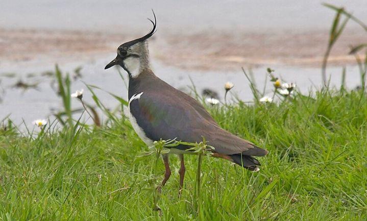 Friese vogelbond wil kievitseieren in broedmachine