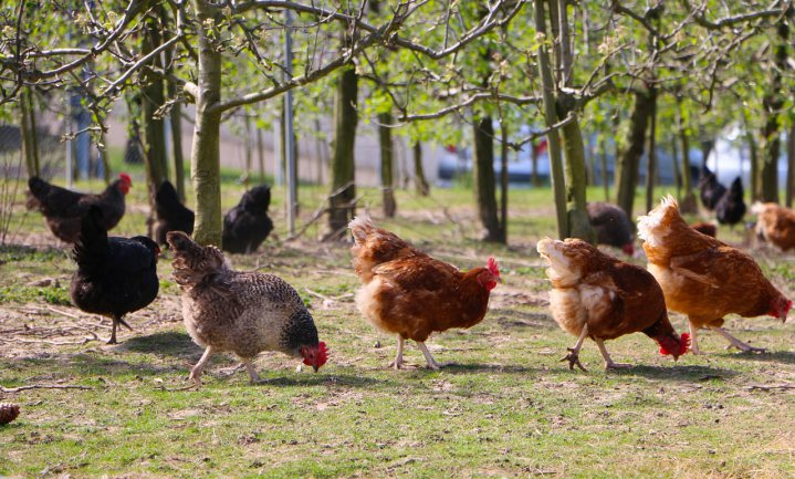 Amsterdam opent opvang voor afgedankte kippen
