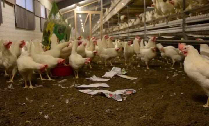 Realist of idealist: hoeveel dode en zieke kippen accepteer je?