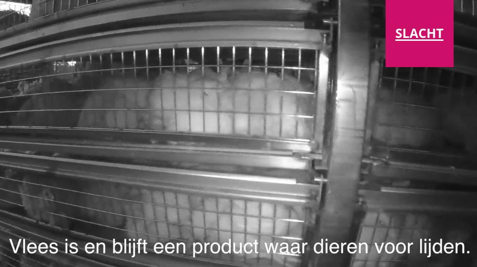 Animal Rights laat zien hoe vleeskuikens worden gevangen