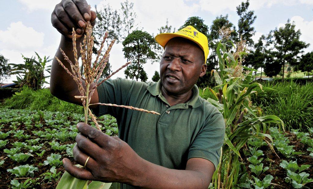 Kwaliteit graan verschilt per Afrikaanse akker