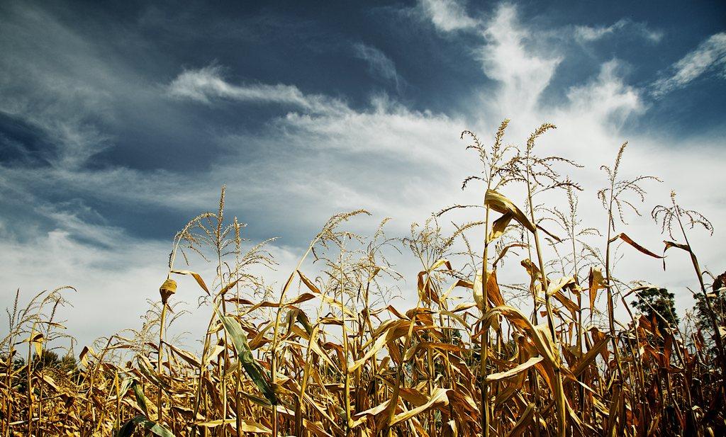 'Wilde' voedselgewassen dreigen uit te sterven