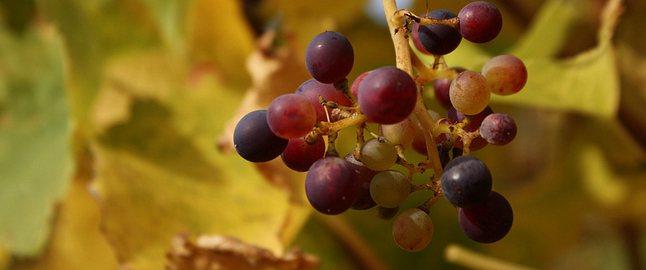 Klimaatverandering verandert de wijnbouw