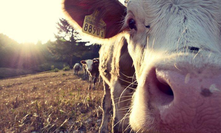 'Als GMO-vrije melk standaard wordt, krijgen we nieuwe veevoerschandalen'