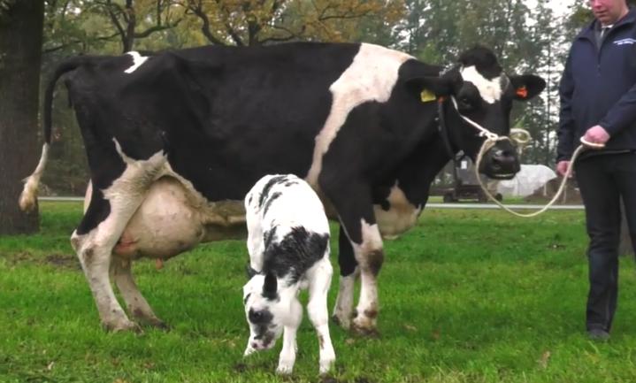 Belgisch blauw-sperma, meer kans op een kalf