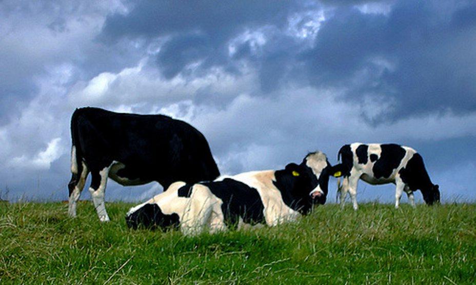 Rapport overheidsconsultants adviseert gedwongen krimp veehouderij