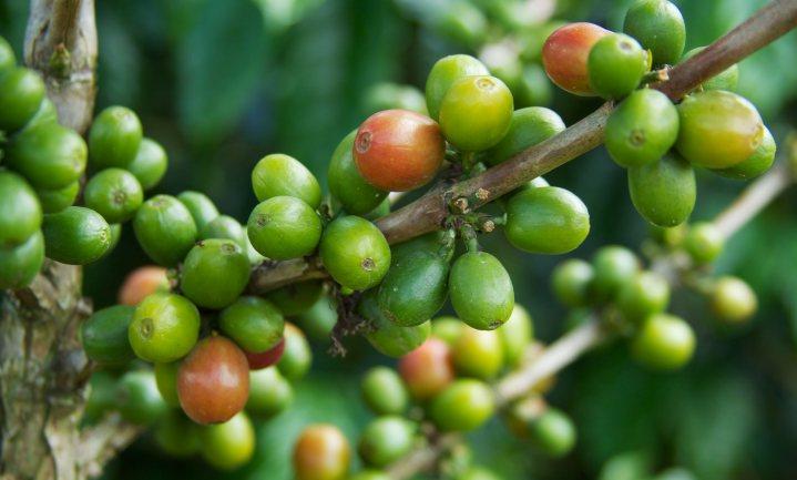 Klimaatverandering bedreigt prijs kopje koffie