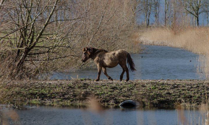 Konikpaarden ook in Wit-Rusland bijgevoerd
