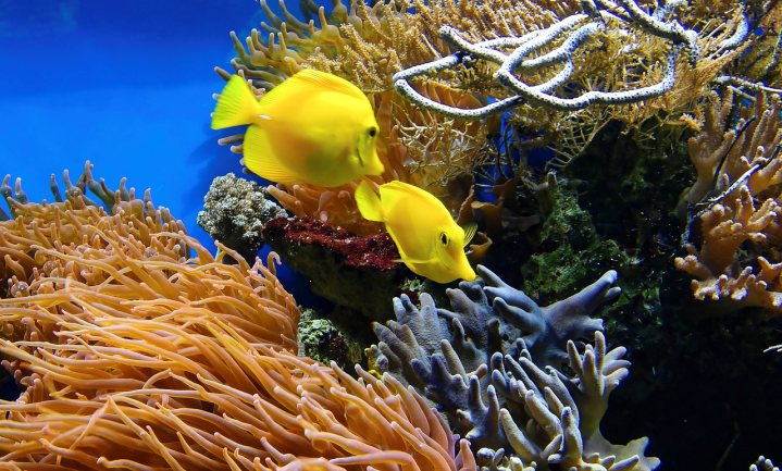 Van olie gaan koraalvissen dom doen