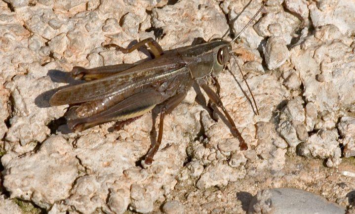 Automatische krekelkweekfabriek moet insecten eten 'normaal' maken