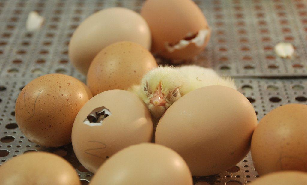 'Early feeding', het dooierzakje weggejorist