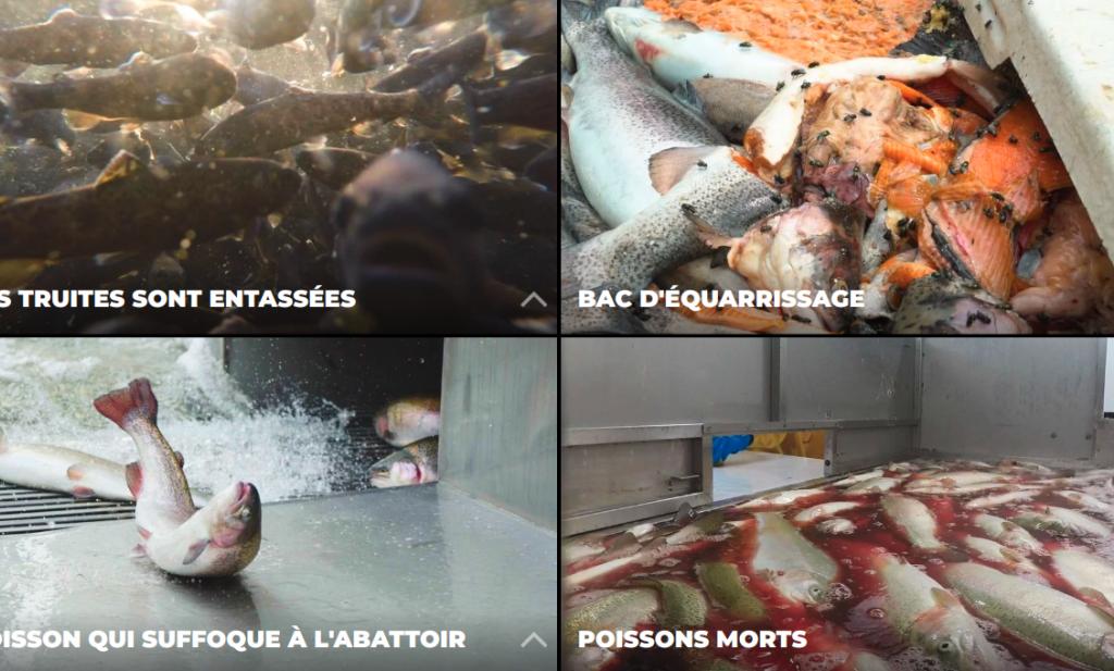 Dierenwelzijnsorganisaties stellen wreedheid viskweek en -slacht aan de kaak