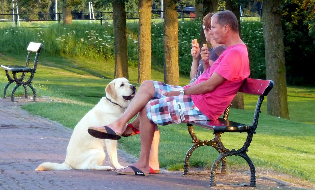 Gen maakt labradors eetgraag én geschikt als hulphond
