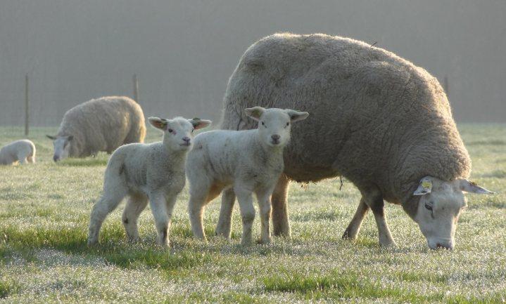 Minder methaanboerende schapen