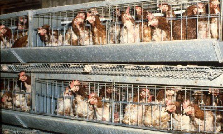 VVD maakt dierenwelzijn breekpunt in vrijhandelsakkoord met VS