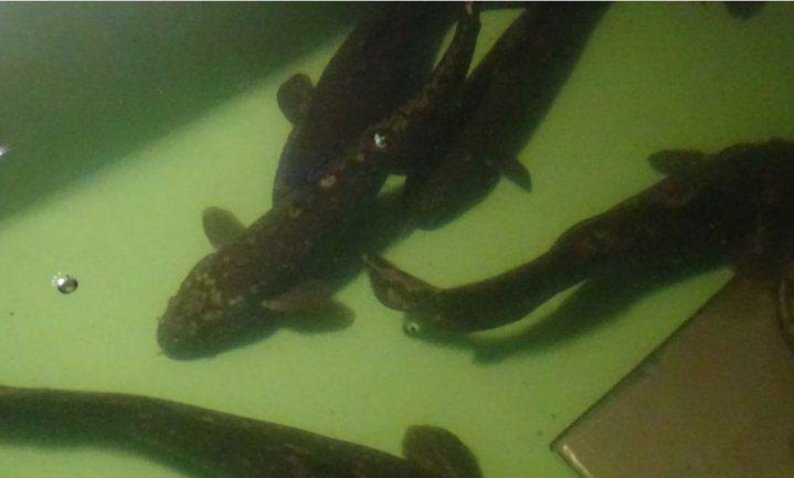 Vlamingen kweken een uitgestorven vis