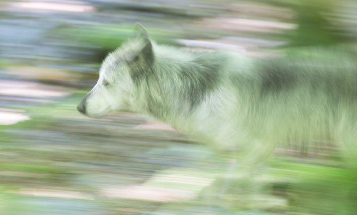 'Gevestigde wolven eten geen vee'