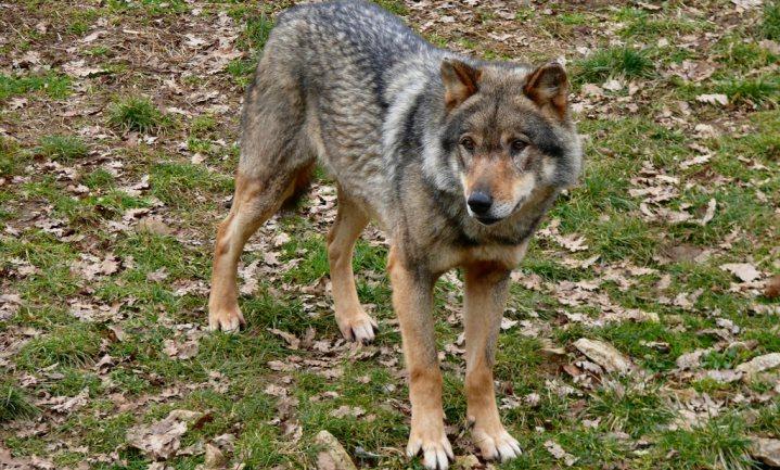 Niemand blij met nieuw Frans wolvenplan