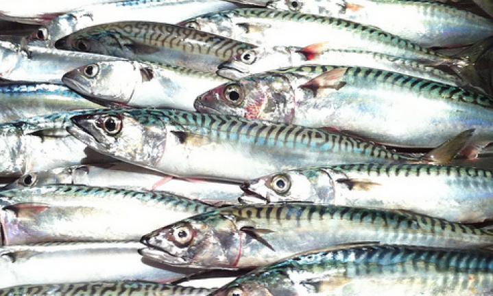 Nieuw makreeladvies valt dubbel zo hoog uit