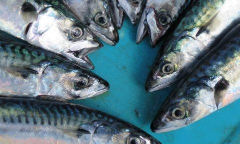 Culinair ontdekt: Makreel