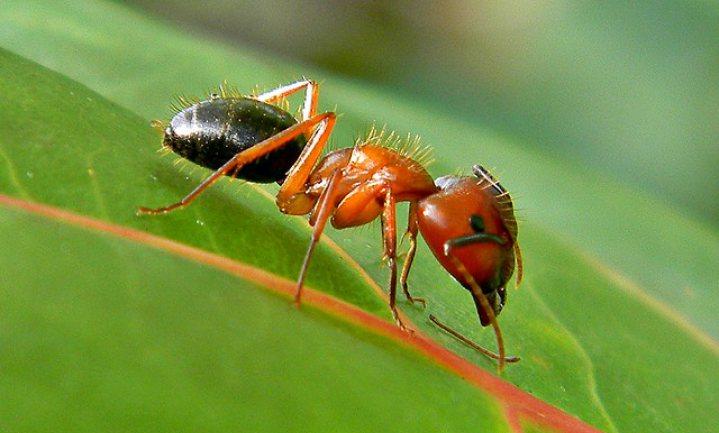 'Landbouwende mieren deden aan precisielandbouw'