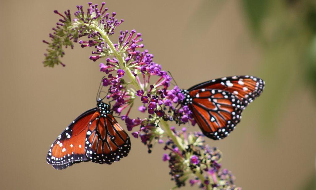 Biologische wijngaarden blijken vlinderparadijs