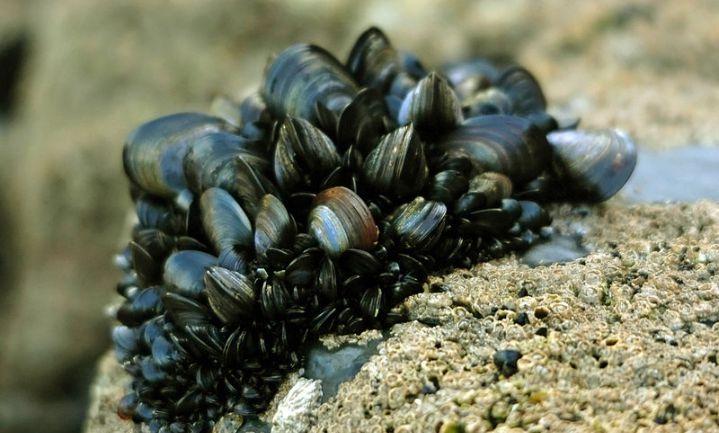 Potentieel dodelijk neurotoxine in schelpdieren Maine