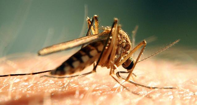 GMO insecten kunnen overdracht ziekten voorkomen