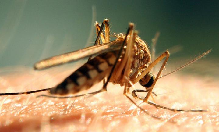 Crispr-mug moet malaria uitroeien